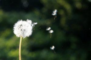 Pusteblume als Symbol für Raumlüftung